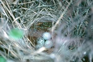 Blackbird, a fészket, a tojások