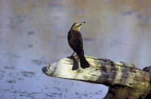 blackbird, euphagus, Rusty carolinus, log