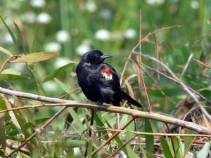tricolored, blackbird, agelaius tricolor, zatáčky, hlava, fotoaparát, strom, větev