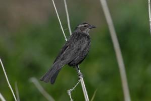 up-close, female, tricolored, blackbird, agelaius, tricolor