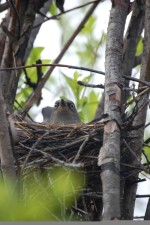 female, rusty, blackbird, euphagus, carolinus, nest