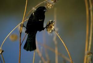 up-close, red, winged, blackbird, agelaius, phoeniceus