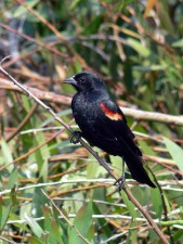red, winged, blackbird, focuses, attention, something