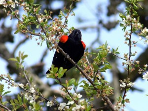 red, winged, blackbird, looks, position, tree, branch