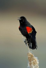 adult, male, red, winged, blackbird