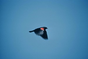red, wing, black, bird, flying, sky, agelius, phoeniceus
