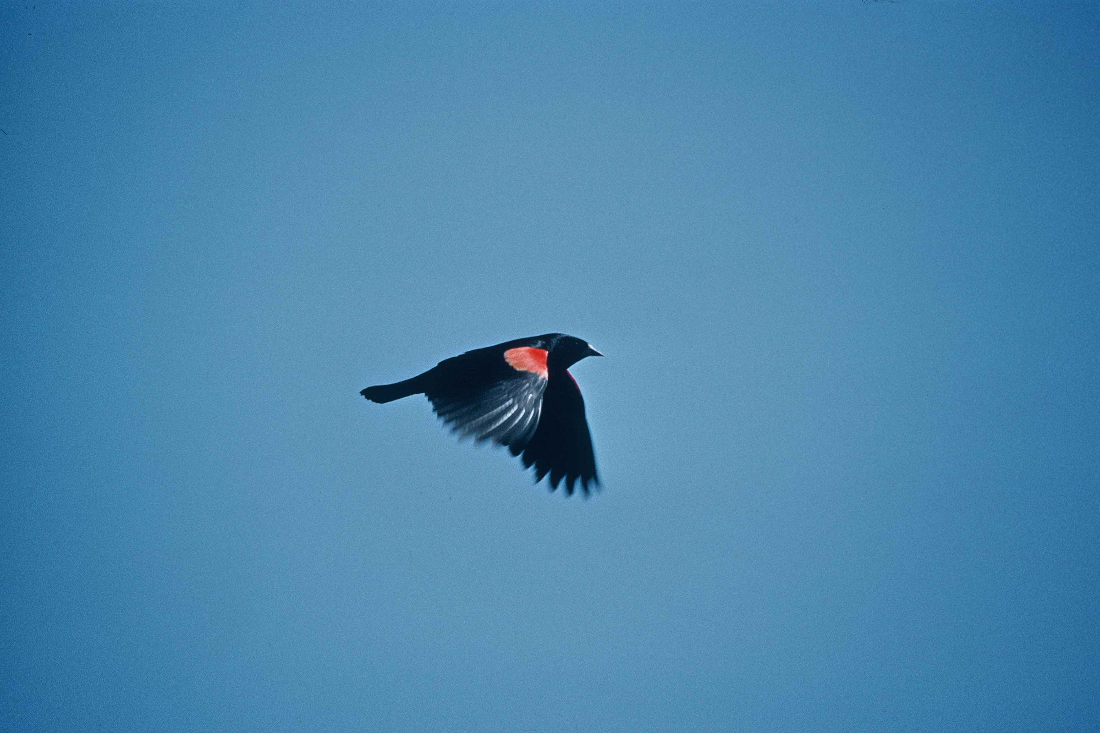 free picture red wing black bird flying sky agelius phoeniceus