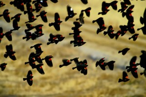 red, wing, blackbirds, flock, flight, agelaius, phoeniceus
