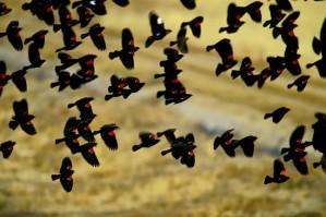 red, wing, blackbirds, flock, flight, agelaius, phoeniceus