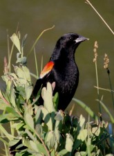 red, winged, blackbird, up-close, agelaius, phoeniceus