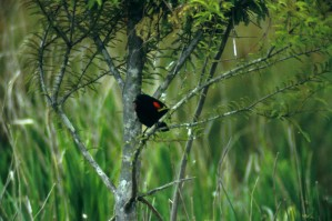 red, winged, blackbird, small tree, agelaius phoeniceus