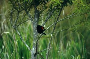 red, winged, blackbird, small tree, agelaius, phoeniceus