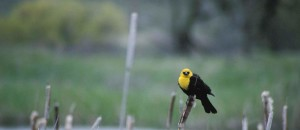 male, yellow, headed, blackbird, xanthocephalus, xanthocephalus, medium sized, blackbird