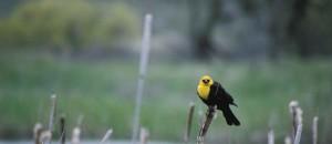 Muž, žlutá, zelí, blackbird, xanthocephalus xanthocephalus, střední velikosti, blackbird