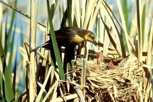 žlutá, zelí, blackbird, krmení, mladé, holky, hnízdo