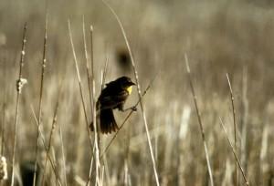 žlutá, zelí, blackbird, Žena, marsh