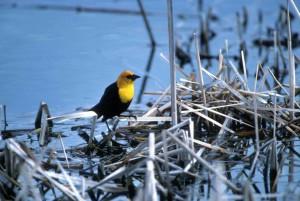 žlutá, zelí, blackbird, xanthocephalus xanthocephalus, rod, xanthocephalus