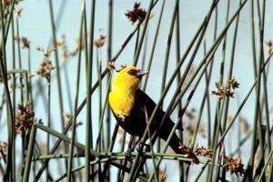 žlutá, zelí, blackbird, xanthocephalus xanthocephalus, chov, sezóna, peří
