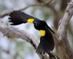 yellow, shouldered, blackbird, agelaius, xanthomus, flight