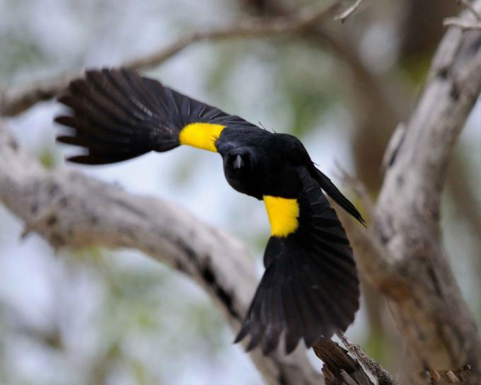 yellow, shouldered, blackbird, agelaius xanthomus, flight