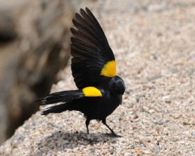yellow, shouldered, blackbird, standing, rock, wings