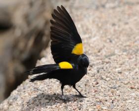 sárga, vállas, feketerigó, állandó, rock, szárnyak