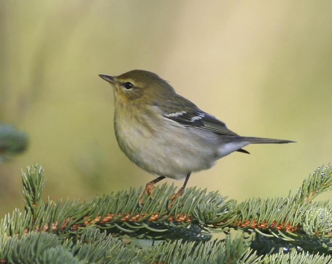 blackpoll, warbler, bird