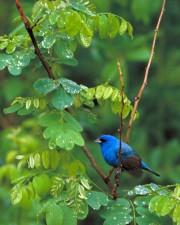 blue, indigo, bunting, bird, passerina cyanea, tree, branch