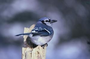 bleu, geai, oiseau