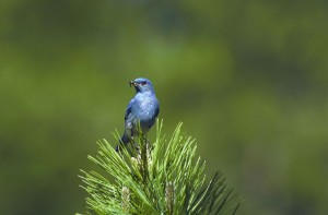up-close, mountain, blue bird, bird, eating, sialia, currucoides
