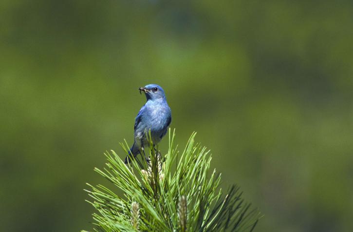 up-close, mountain, blue bird, bird, eating, sialia, currucoides