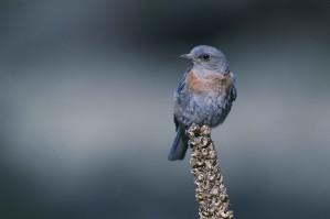 Сини птици