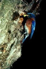 coloré, oiseau bleu