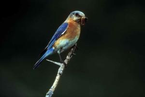 blue bird, close