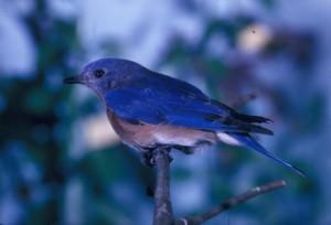 oiseau bleu, percher, branche