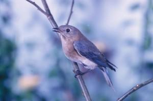 blue bird, sialia, sialis