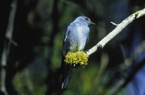 montagne, oiseau bleu, oiseau, Sialia, currucoides, branche