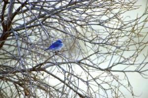 montagne, oiseau bleu, migrateurs, oiseau, Sialia, currucoides