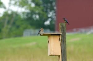 Cặp, màu xanh chim, chuẩn bị, làm tổ, chim, nhà
