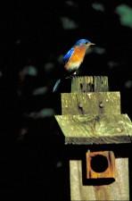 Niebieski ptak, sials, boczne, sialis
