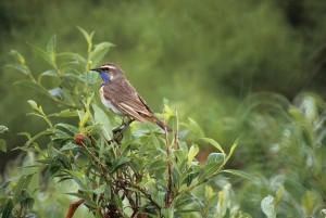 Kékbegy, férfi, madár, fa