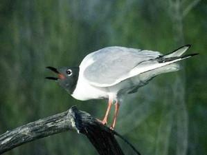 波拿巴的鸥