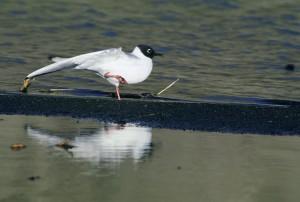 Bonapartes, mouette, oiseau, Larus philadelphia