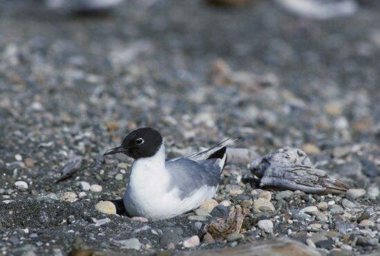 bonapartes, gull, sitting, nest, pebbled, beach