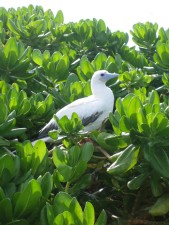 red, footed, booby, tree