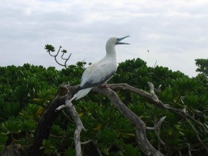 red, footed, booby, limb