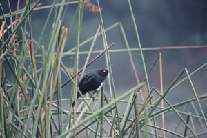 pivovary, blackbird