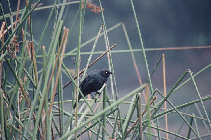 browarów, blackbird