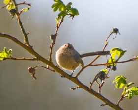 bushtit, psaltriparus, minimus, bird, branch