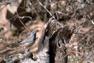 cactus, wren, bird